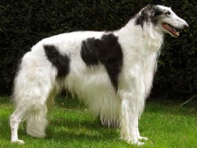 Norwegian Wolfhound Pictures | Dog Breeds Picture