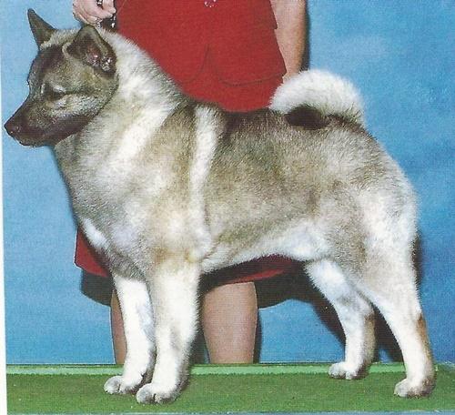 A Borzoi Dog Canadian Professional ...