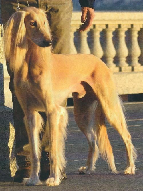 Elkhound Norwegian Irish Wolfhound